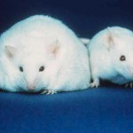 Fat Mouse comparison Leptin