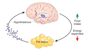 leptin hormone and female weight loss venus factor